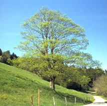 Baum_Ahorn