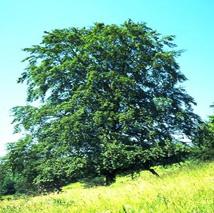 Baum_Buche